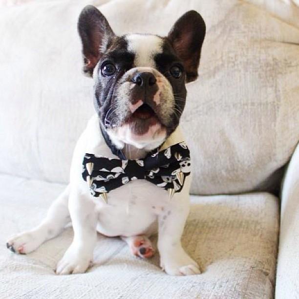 Dog wearing bowtie