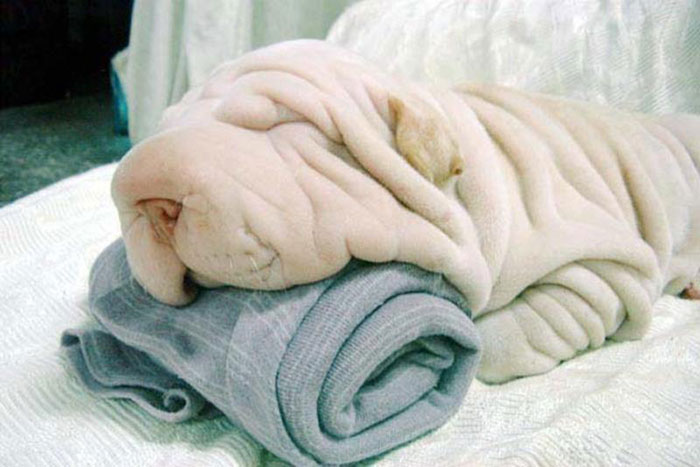 Dog that looks like a snuggly towel
