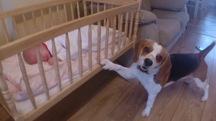 Sweet beagle tries desperately to get
