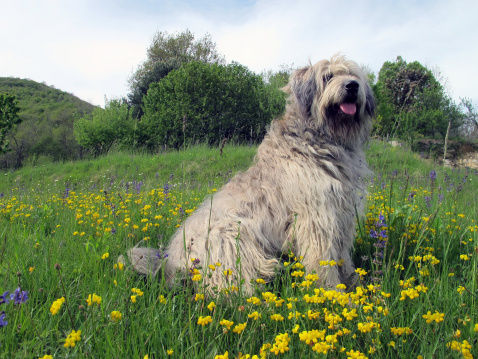 Bergamasco dog breed