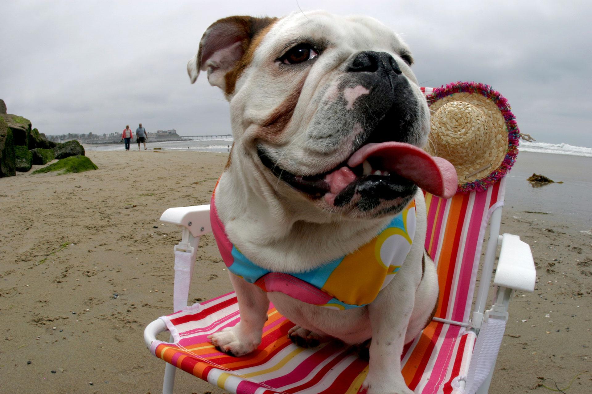 Bulldog on San Diego beach
