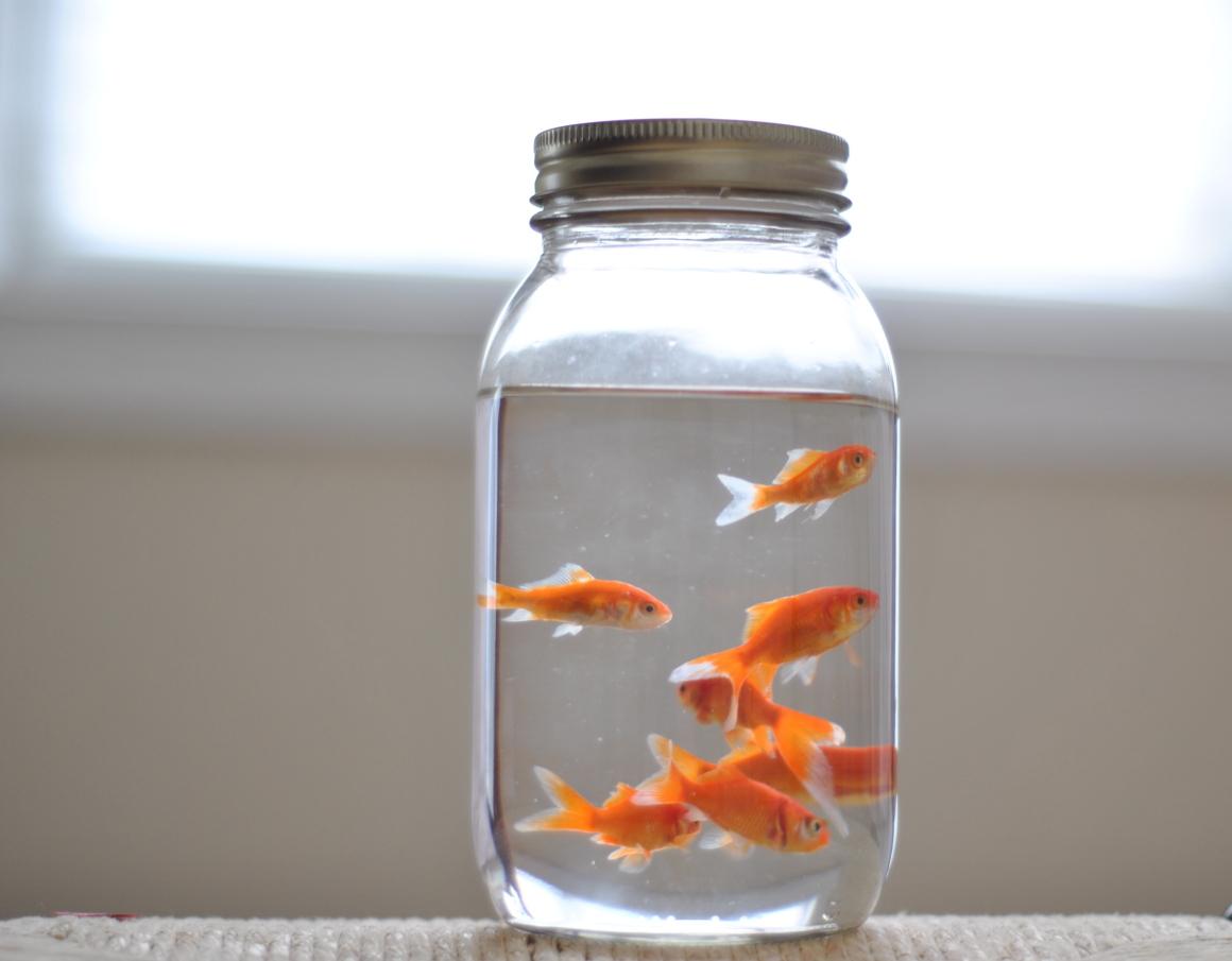mason jar goldlfish