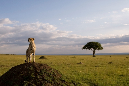 A Cheeta stands guard in African Cats