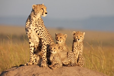 The cheetas of African Cats