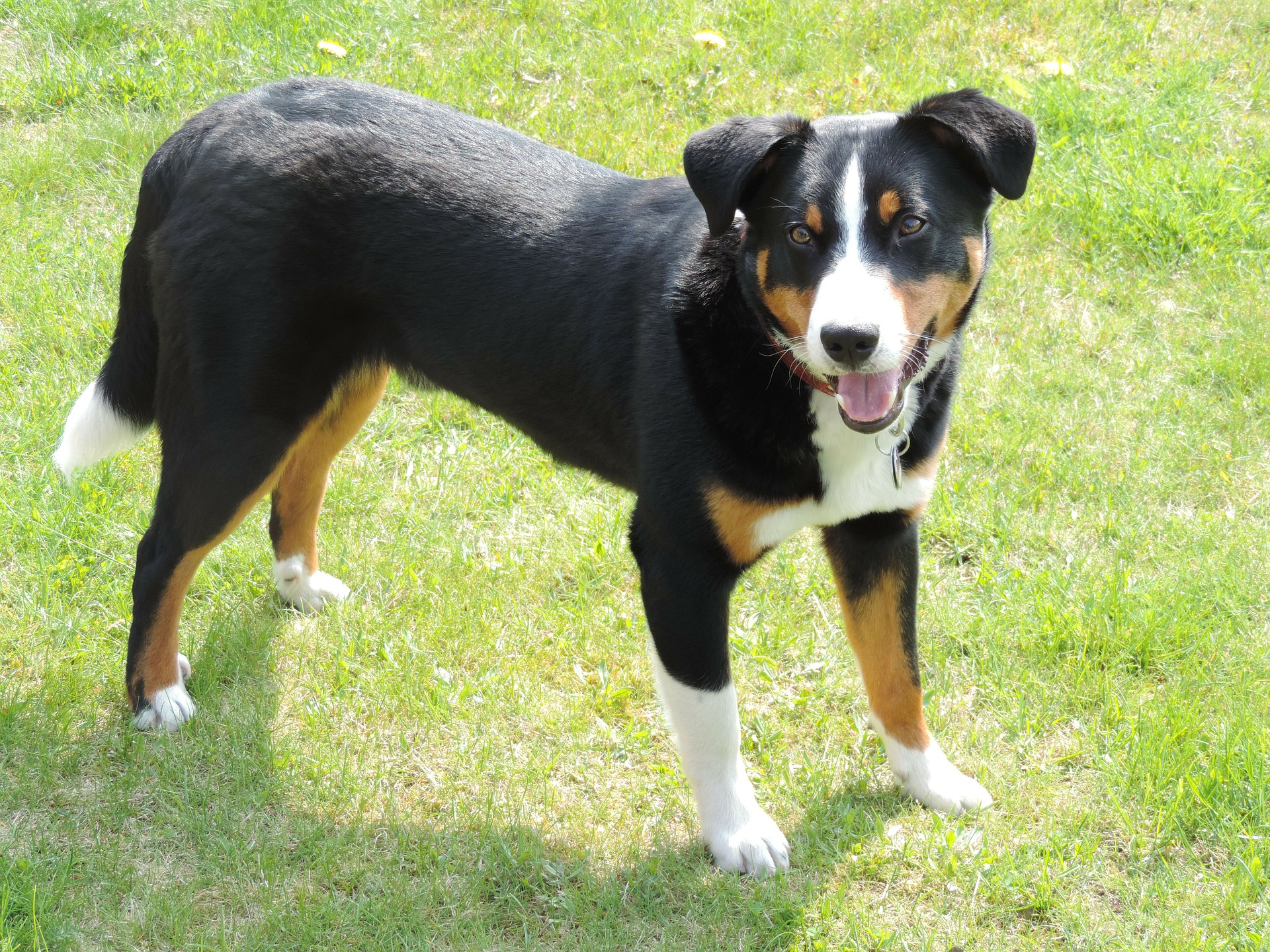 Meet The Breed Appenzeller Sennenhunde Sheknows