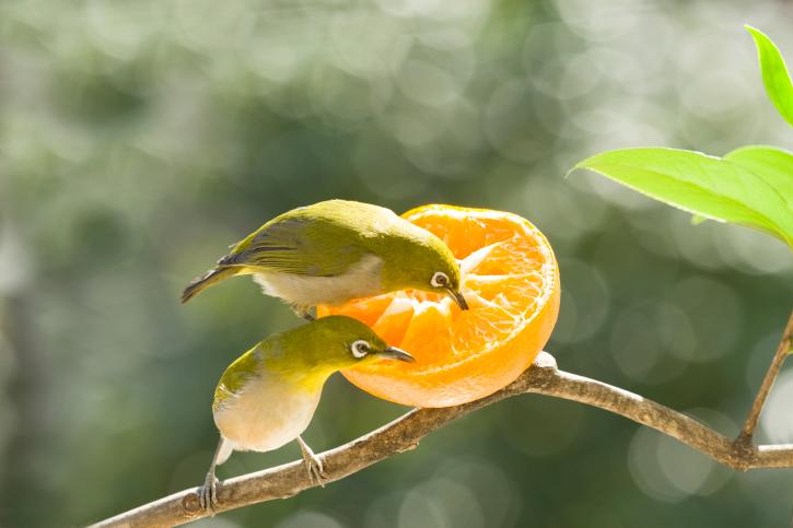Birds eating orange   Sheknows.com