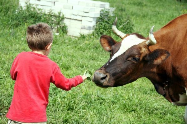 Bow feeding cow