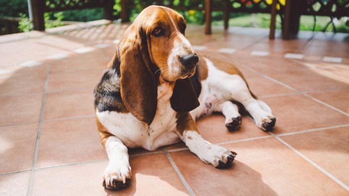 Meet the breed: Basset Hound