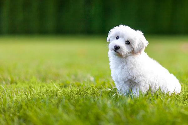 Meet The Breed Bichon Frise Sheknows