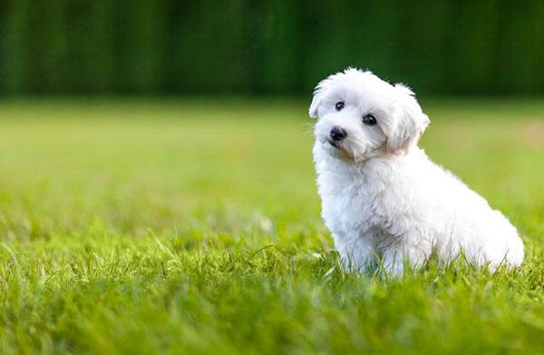 Meet the breed: Bichon Frise