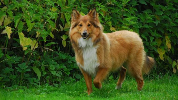 Meet the breed: Shetland Sheepdog