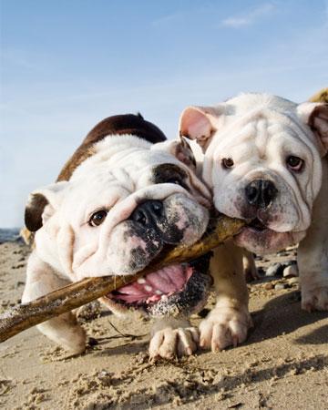 Bulldogs playing on the beach