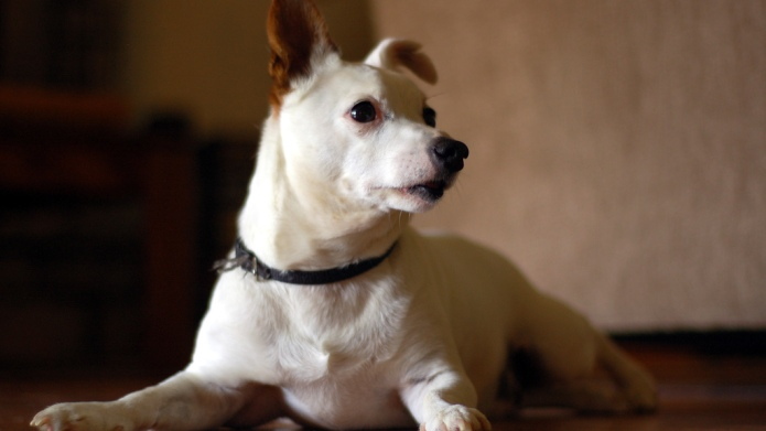 Why adopting an older dog is