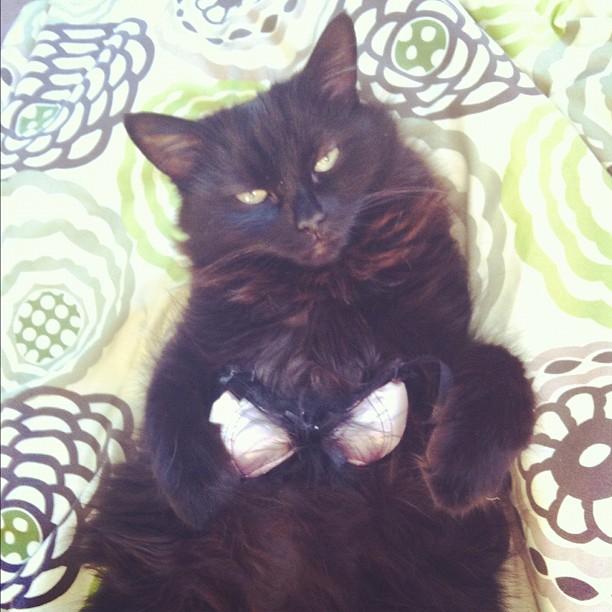 cat wearing a bra