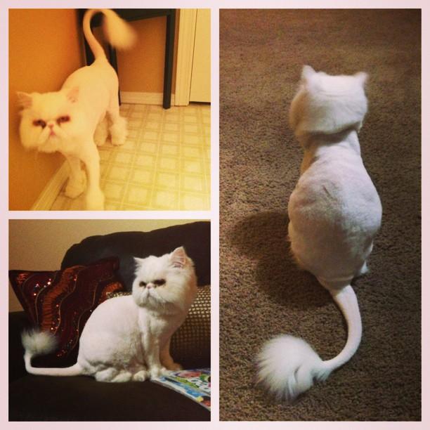 cat with hair cut