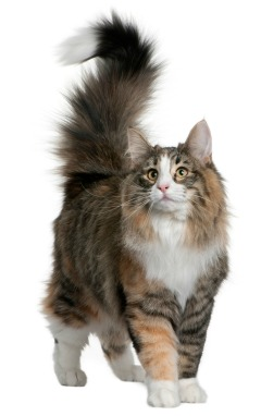 Cat with tail up