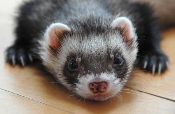 Kidney disease in ferrets