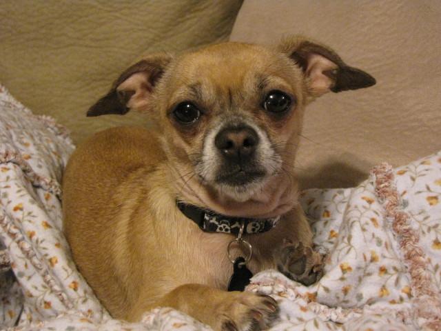 Charlie Chihuahua