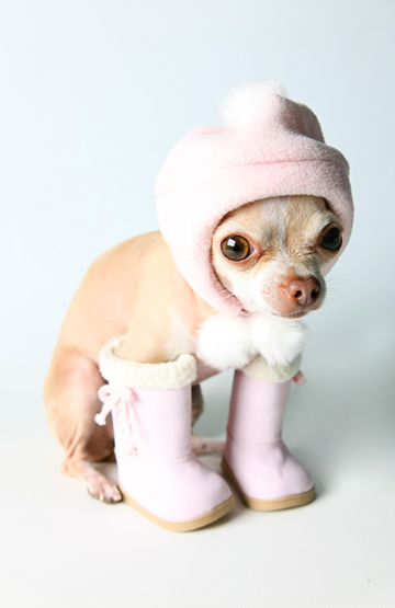 Chihuahua in boots