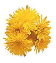 Dandelion flowers   Sheknows.com