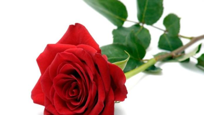 Roses and Valentine's Day