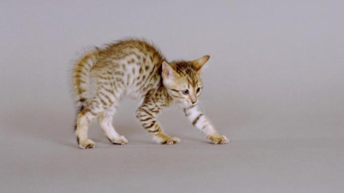 Bengal kitten, seven weeks old.