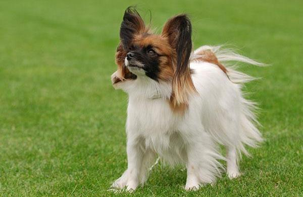 Meet the breed: Papillon