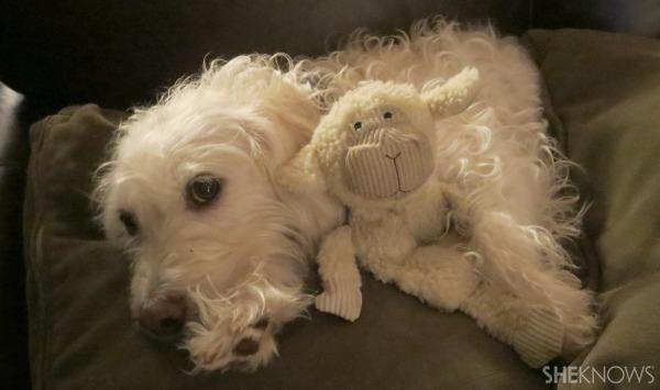 Dog daisy with lamb toy | Sheknows.com