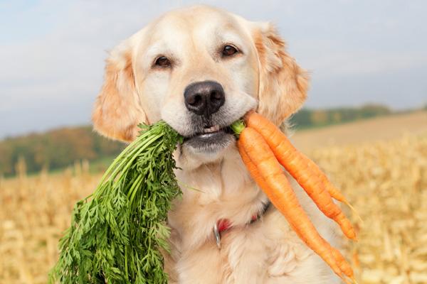 Dog eating carrot