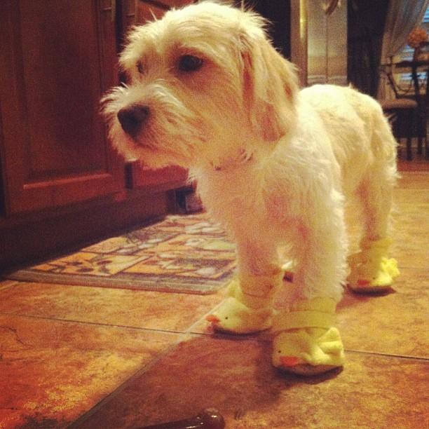 Dog in duck booties