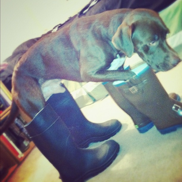 Dog in human boots