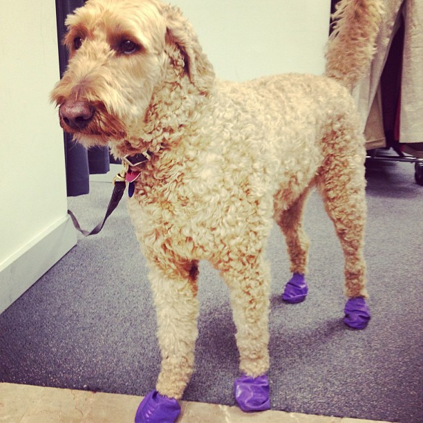 Dog in purple booties