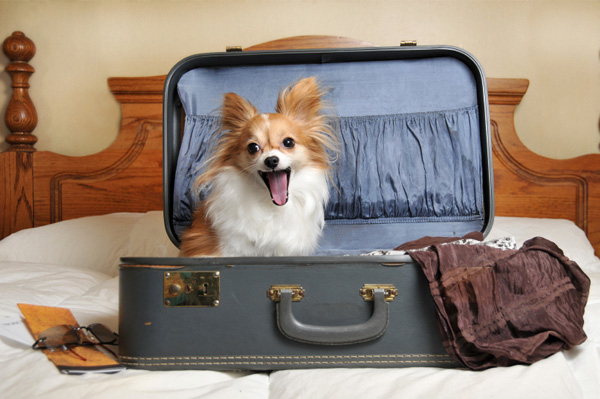 Dog in suitcase ready for vacation