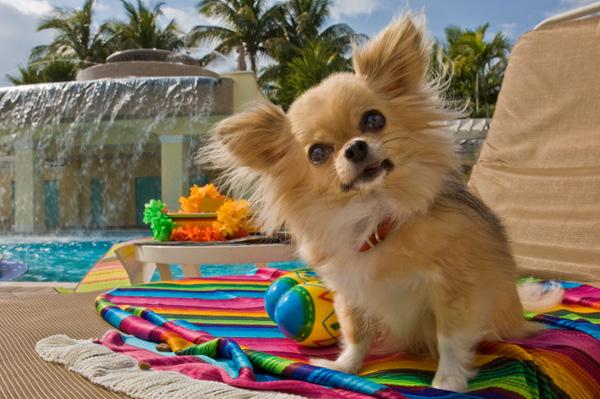 Dog on vacation at hotel.