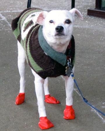 Dog wearing booties