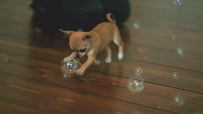 This tiny but ferocious Chihuahua will