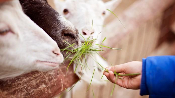 Boy feeding goats at a petting