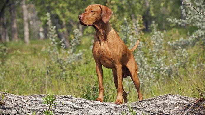 Meet the breed: Vizsla