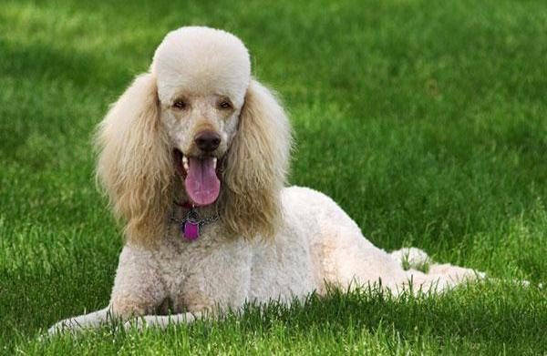 Meet the breed: Poodle
