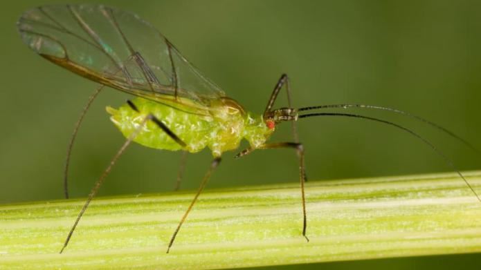 Aphid Control