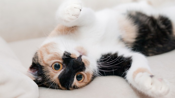 Feline hyperesthesia: What you should know
