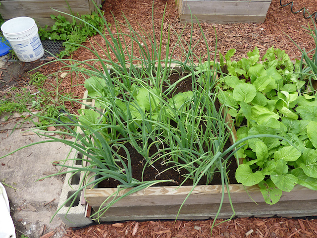 green onions in a planter