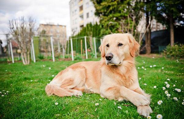 Meet the breed: Golden Retriever