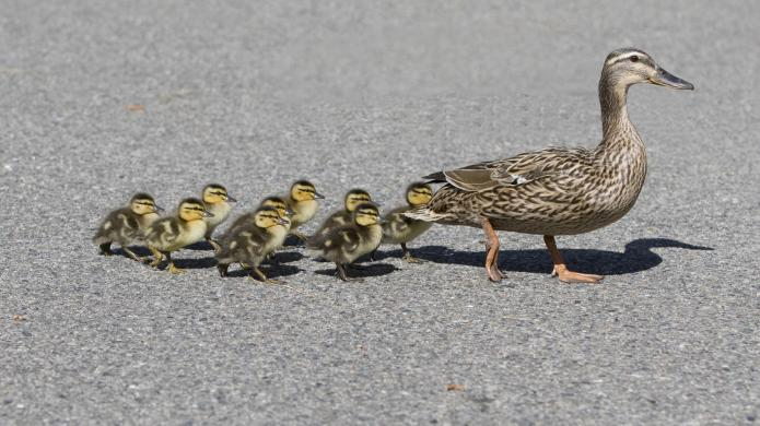 These ducklings owe their lives to