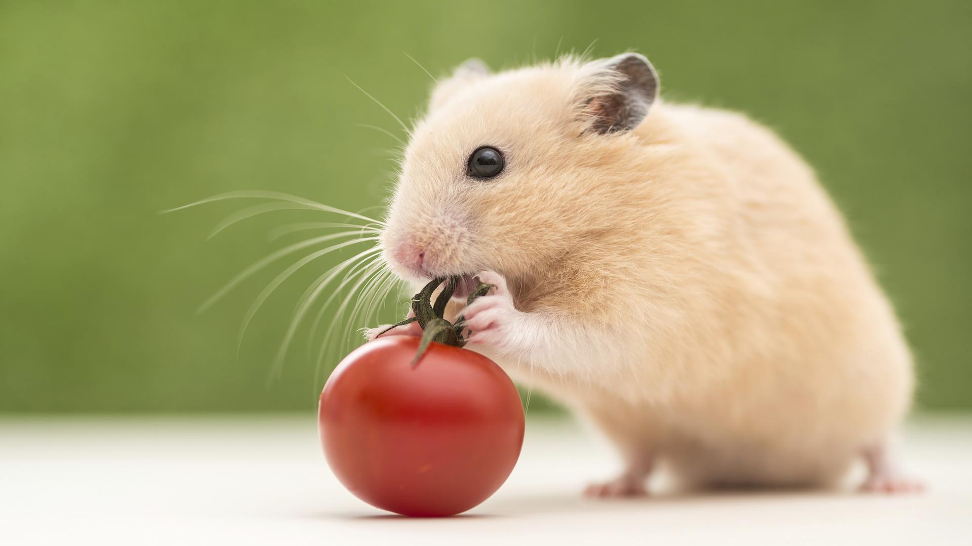 Hamster eating tomato