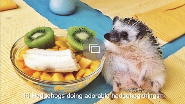 hedgehog slideshow