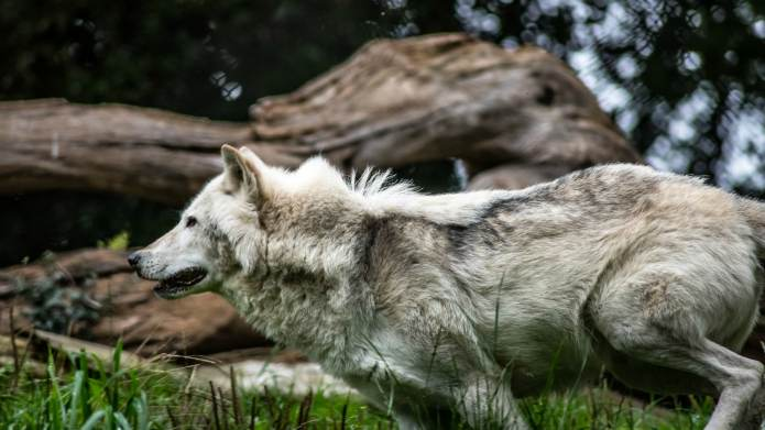 Everything You Need to Know About Wolf-Dog Hybrids – SheKnows