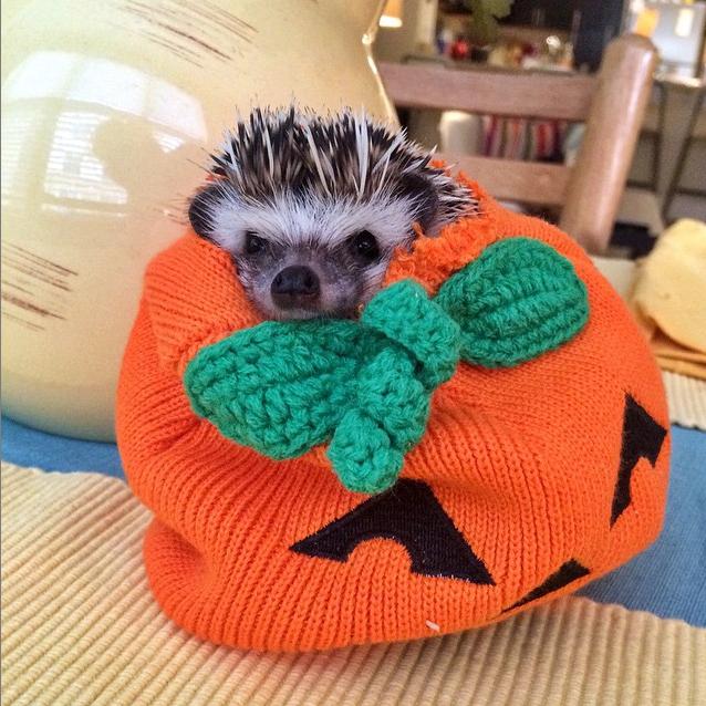 hedgehog in a pumpkin