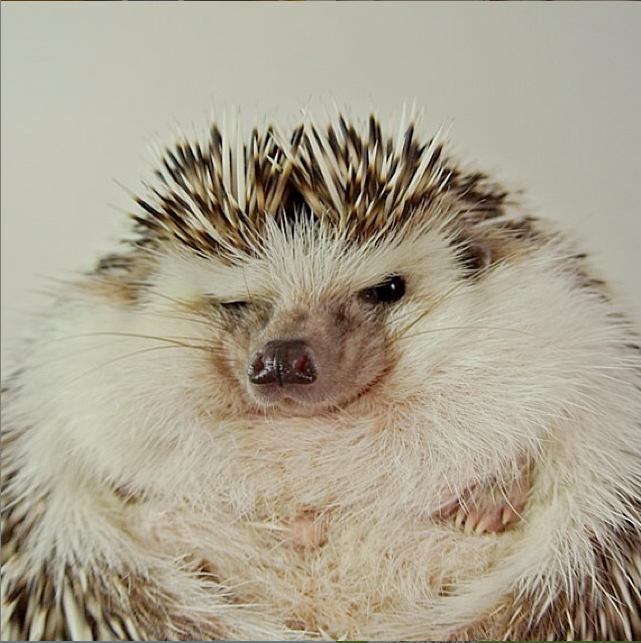 hedgehog scowling
