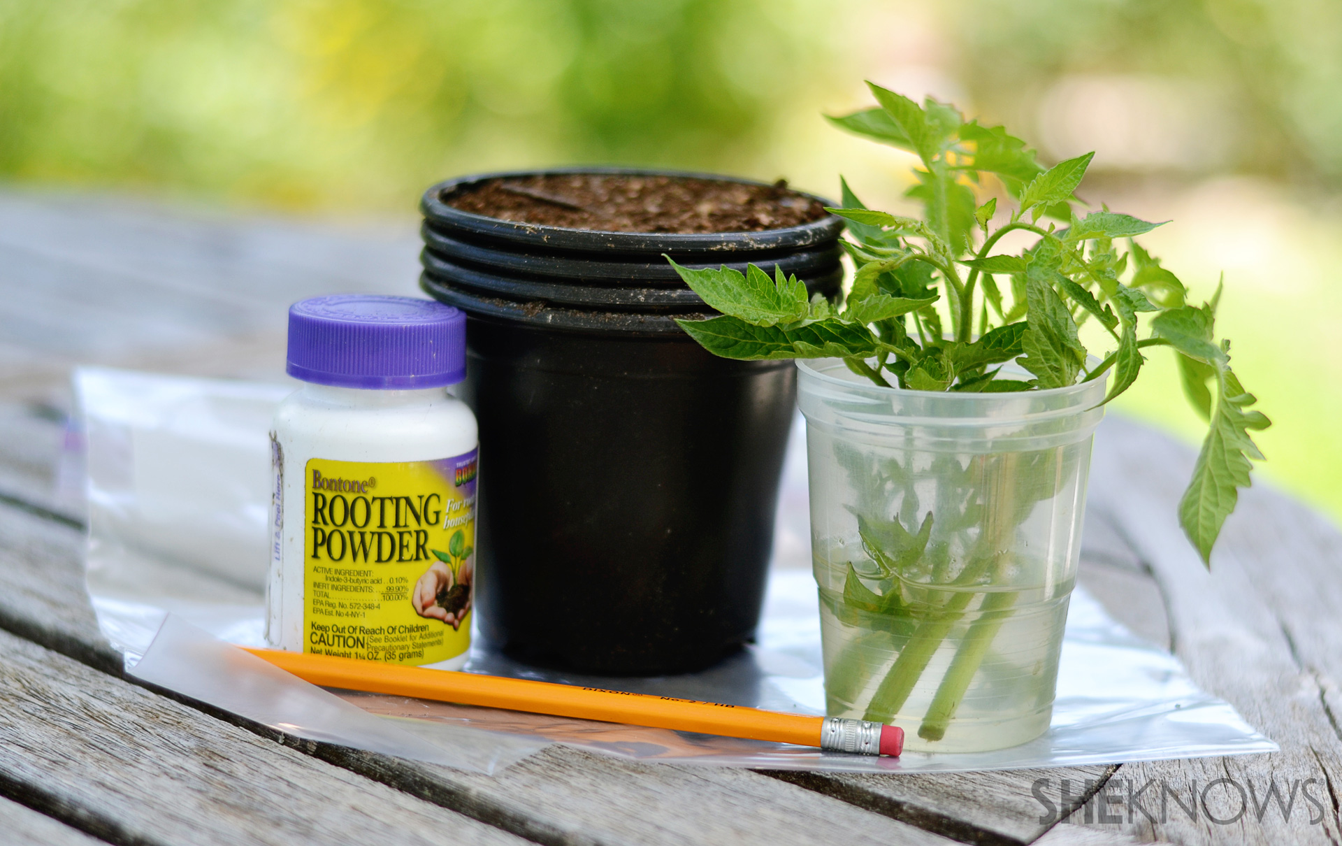 How to grow more tomato plants for free